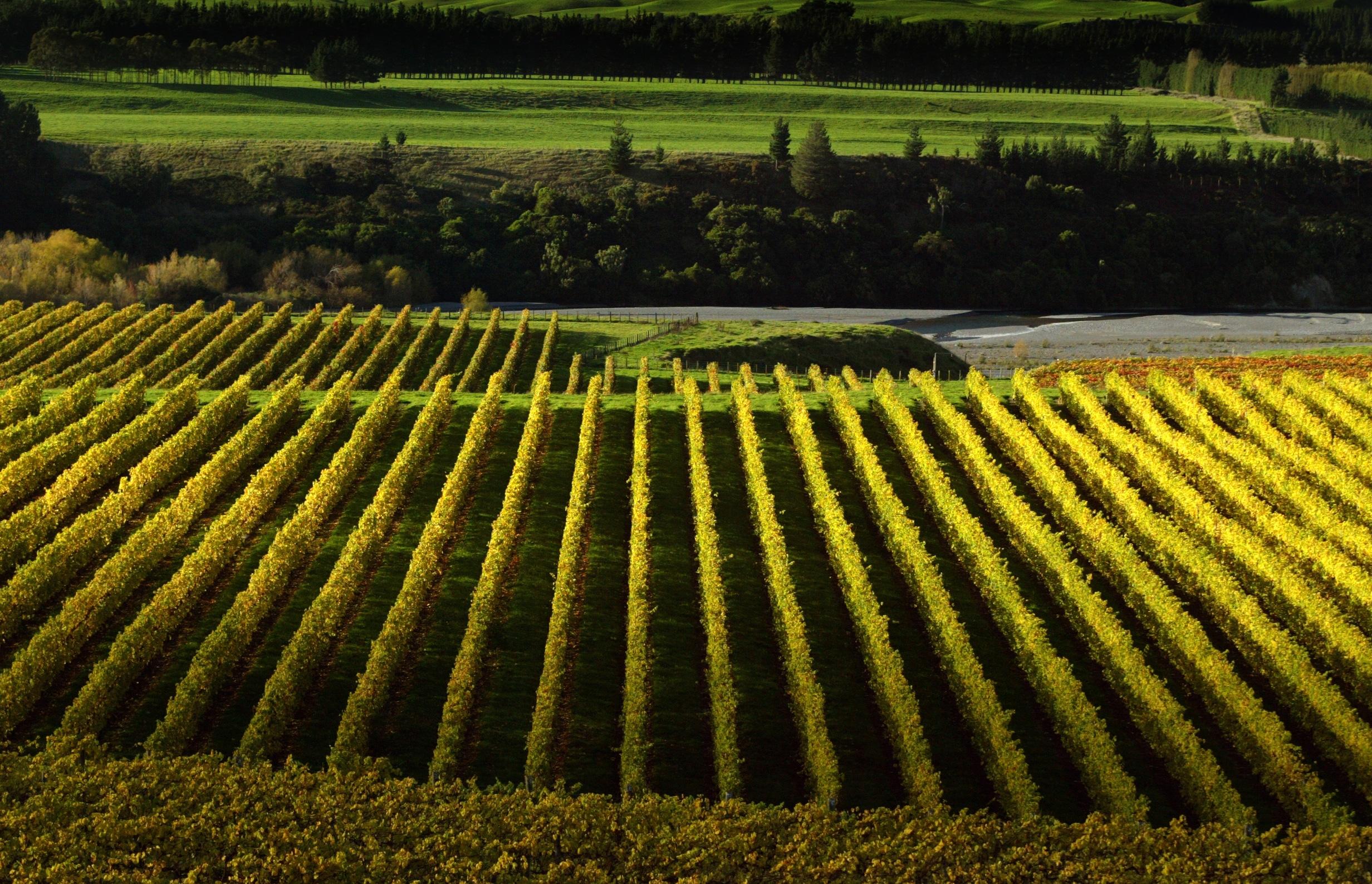 Autumn Colours Feature Mangatahi vineyards surrender to Autumn Colour. Rep - Pic By Warren Buckland Hawkes Bay Today - NAPIER NEWS FEATURE DIGITAL PHOTO